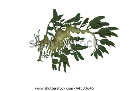 Leafy Sea Dragon Isolated on White Background with Clipping Path