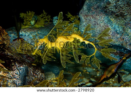 Leafy Sea Dragon (Phycodurus eques) a type of seahorse