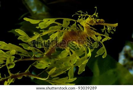 Leafy seadragon also known as Glauert's seadragon