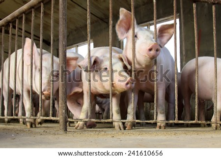 Lean hogs in a farm, closeup of photo