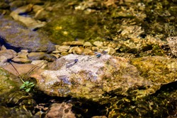 Leander, Texas / USA: Three dragonfly's on a rock in a creek on a sunny afternoon in May
