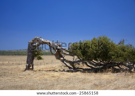Leaning tree in Western Australia