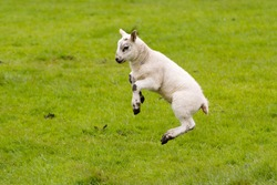 Leaping Lamb with green background.