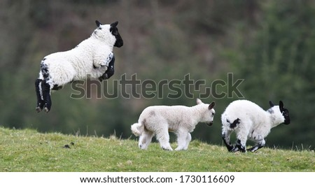 Leaping lambs, Carmarthensire, Wales, UK Stock fotó ©