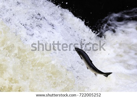 Leaping Salmon #722005252
