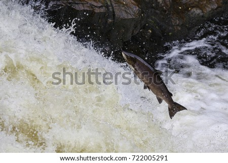 Leaping Salmon #722005291