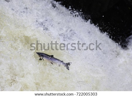Leaping Salmon #722005303