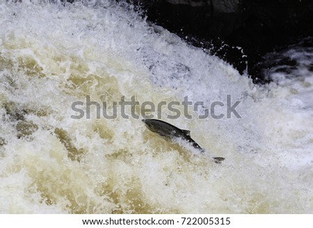 Leaping Salmon #722005315