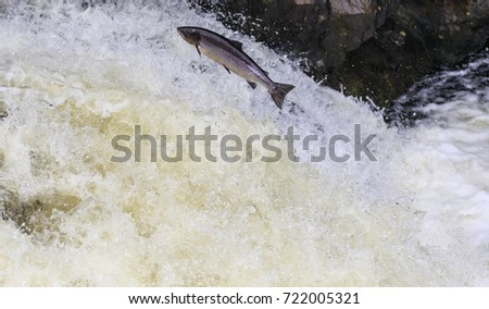 Leaping Salmon #722005321