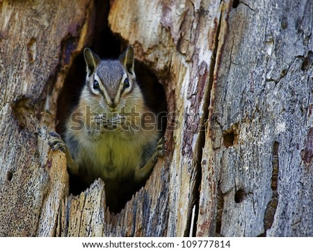 Least Chipmunk dramatically positioned in the entrance to her hole; Chopaka Lake, Washington, near the Canadian border; Pacific Northwest wildlife / nature