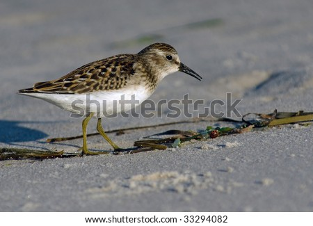 Least Sandpiper foraging on the beach.