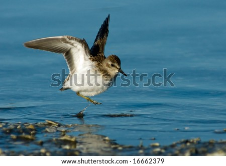 Least Sandpiper in a wings up pose.