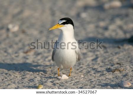 Least Tern on an Atlantic Beach