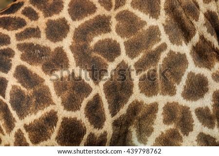 Leather giraffe,leather,giraffe,textured skin of giraffe, textured skin . #439798762