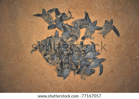 Leatherback sea turtle emergence: once the surface layers of the beach cool after sunset at night, the turtles emerge in a group and proceed to crawl down the beach to the water