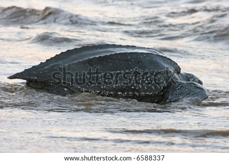 leatherback sea turtle returning to the ocean with the nesting process is complete