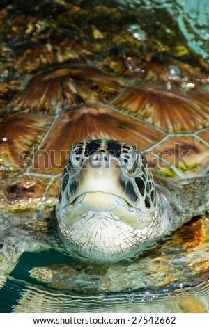 Leatherback Turtle - stock photo