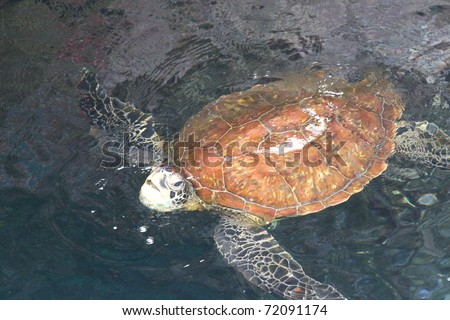 leatherback turtle in Galapagos islands