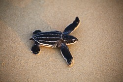 Leatherback turtle is the world's largest turtle. this turtle can grow up to 2 m. long and weigh up to 900 kg.