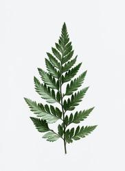 Leatherleaf fern on white background