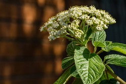 Leatherleaf viburnum (Viburnum rhytidophyllum Alleghany) white flowers in spring garden. Beautiful blossom on red brick wall background. Place for your text. Selective focus. Nature concept for design