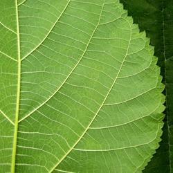Leaves,