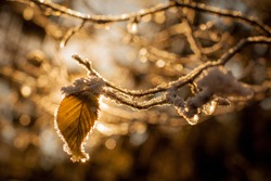 Leaves and branches in cold weather with frost and small icicles lit by winter sun. Detail on small brown leaf. Twigs with frost backlit with sun.
