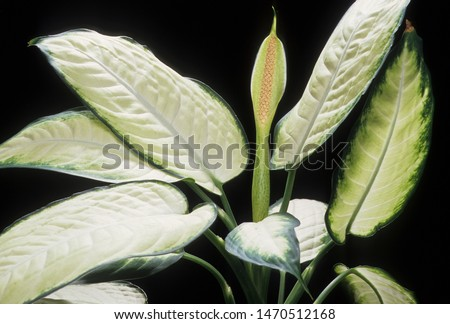 Leaves and flowers of toxic spotted Dumb Cane