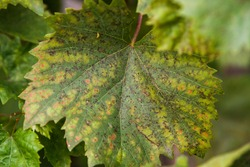 Leaves and fruits of green grapes with spots. Anthracose mildew and oidium grape. Primary signs of fungal disease. Viticulture.