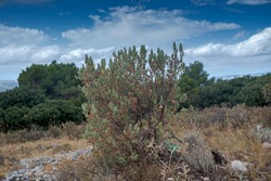 Leaves and fruits of Spring Rock-Rose, Cistus albidus. It is native of the Mediterranean Region. Photo taken in Font Roja Natural Park, province of Alicante, Spain