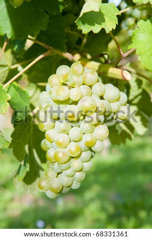 leaves and grapes of white wine