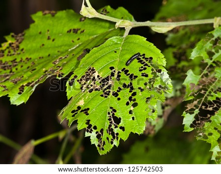 Leaves are eaten away caterpillars with larves
