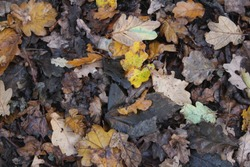 Leaves decomposing on forest floor in British woodland In Yorkshire UK