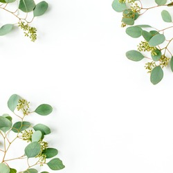 Leaves eucalyptus frame borders, with fruits in the form of berries on white background with empty space for text. Flat lay, top view. floral concept