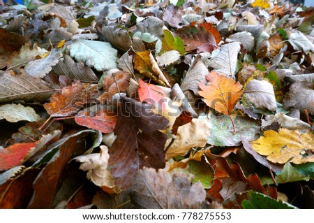 leaves fallen in autumn, fallen autumn yellow and red leaves #778275553