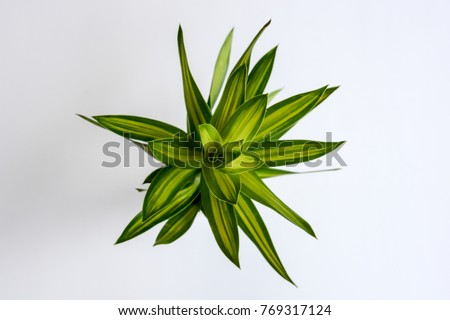 Leaves for floral arrangement, Song of India, on white background. Top view.