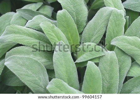 leaves fragrant sage  ready to harvest