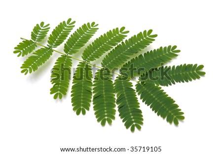 Leaves from a Silk Tree (Albizia julibrissin Durazz)