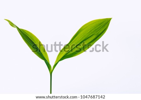 Leaves from lily of the valley on a light background. Selective soft focus, backlit illuminated leaves.