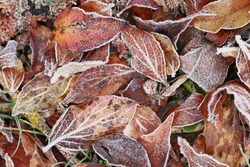 leaves in hoarfrost. Frosty white pattern on brown autumn leaves.Late autumn and early winter nature.Winter natural plant background.November and December. First frosts
