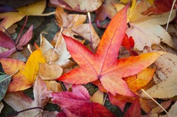 Leaves in various autumnal colors; Fall foliage