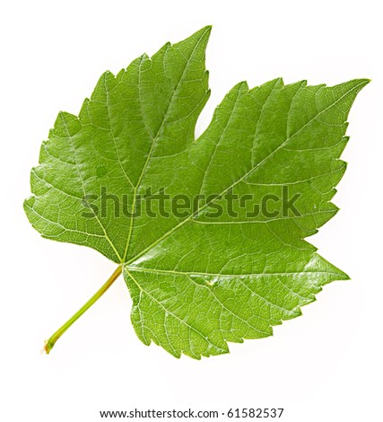 Leaves isolated on white