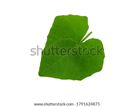 Leaves isolated on white background, Exotic tropical leaf, Large green leaf, Colorful foliage, Green leaf isolated, leaves, leaf, foliage, stalk, Nature leaves, Nature