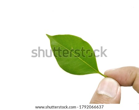 Leaves isolated on white background, Exotic tropical leaf, Large green leaf, Colorful foliage, Green leaf isolated, leaves, leaf, foliage, Defective leaves, Hand holding leaves, Nature