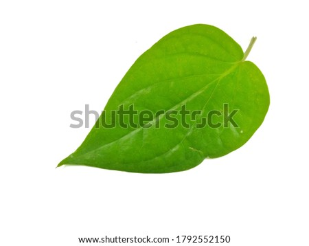 Leaves isolated on white background, Exotic tropical leaf, Large green leaf, Colorful foliage, Green leaf isolated, leaves, foliage, Defective leaves, Betel leaf,  Piper betle