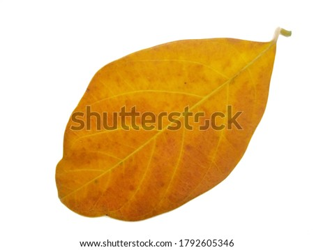 Leaves isolated on white background, Jackfruit leaves, Exotic tropical leaf, Large green leaf, Colorful foliage, Green leaf isolated,leaf, foliage, Defective leaves