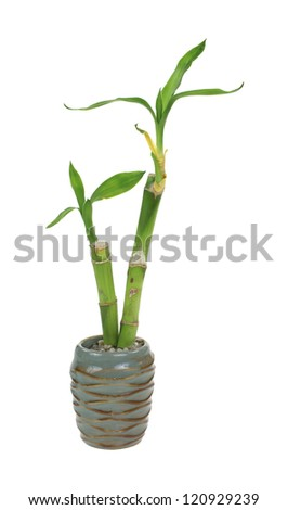 Leaves of a bamboo plant sprouting from stems in a tiny urn.