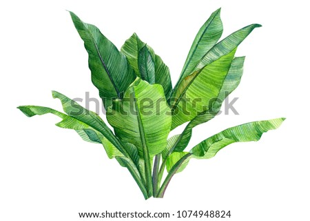 leaves of a banana of a palm tree, watercolor illustration  on isolated white background