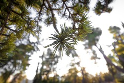 Leaves of a pine tree, on a blurred background, in the Jerusalem Forest, Israel