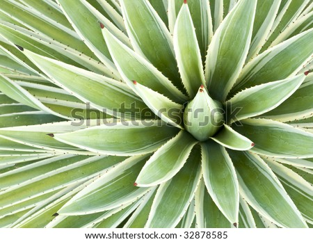 Leaves of a variegated succulent agave  or yucca plant